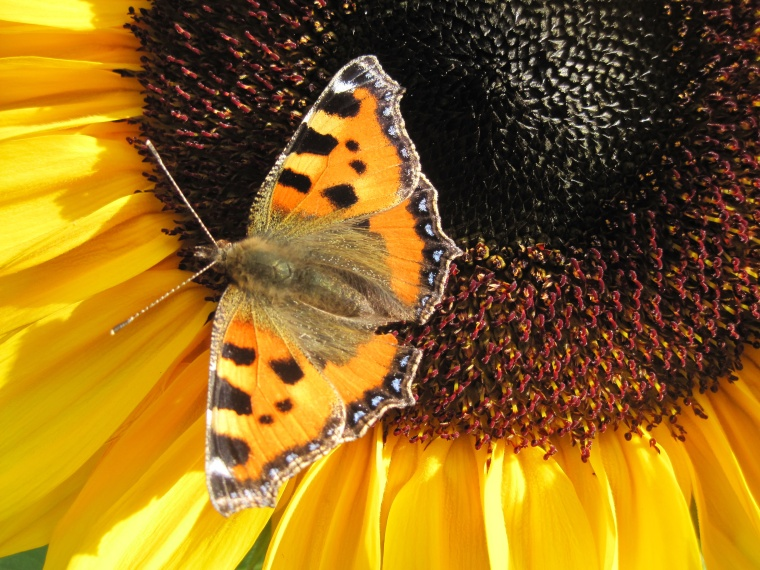 Sunflower and butterfly.