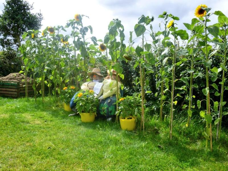 Giant sunflowers and scarecrows.